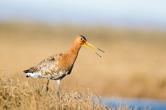 Jarakan - Limosa Limosa (KriK) Tags: bird photography iceland nikon europe iii 300mm nikkor teleconverter afs 2x limosa jarakan tc20e d5100