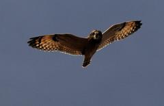 Short-eared Owl (lanaganpm) Tags: birds shortearedowl