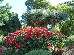 winter red (Grenzeloos1) Tags: catchycolors poinsettia brisbane queensland toowong euphorbiaceae euphorbiapulcherrima mtcootthabotanicalgardens winterfloweringplant