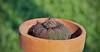 131/365 (Deborah Mac) Tags: 365 castanea frailea