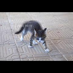breack dance (vedi commento) (Lella Leone Photo) Tags: pet animal cat dance kitty gatto animale micio leonemariantonella lellaleonephoto