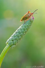I believe I can fly (Jokermanssx) Tags: sardegna bug insect insetto cimice sardinya laconi tokina100mmf28atxprod riccardodeiana