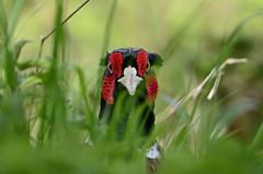 Pheasant on the other side (Rob'81) Tags: uk pheasant britain wildlife brandonmarsh