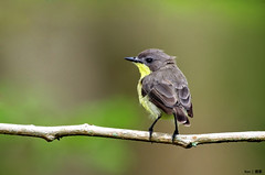 (Explored) Golden Bellied Gerygone #5 (kengoh8888) Tags: wild brown green golden pentax background clean perch bellied k5 smallbird gerygone