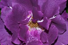_DSC5415a (Kulu40) Tags: macro rose floribunda rhapsodyinblue nikkor105mmf28gvrmicro