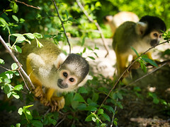 Squirrel monkeys (Marc Rauw.) Tags: nature animal forest geotagged lumix zoo monkey wildlife olympus panasonic 20mm olympuspen primate apenheul aap squirrelmonkey f17 aapje m43 doodshoofdaapje alamy primatepark flickrduel epl1 microfourthirds μ43 panasoniclumix20mmf17 geo:lat=5221350679657784 geo:lon=5918989182525593