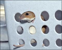 mouse 06-2012 (2) (Avatarmin) Tags: brown macro animal juni mouse austria sterreich nikon mickey armin mickeymouse braun makro tamron 90mm fell tier gettyimages 2012 maus rodler feldmaus d7000 dimacro arminrodler rodlerarmin