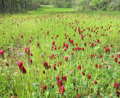 Red clover in bloom, May 2012.