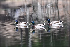 Another Day in the Lives of the Three Amigos [Explored] (The Spirit of the World) Tags: california nature water reflections reeds duck pond sandiego wildlife ducks mallardduck thethreeamigos maleducks maleduck allnaturesparadise rememberthatmomentlevel1 rememberthatmomentlevel2