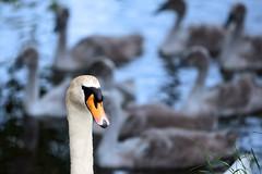 Mother (Terry Gibbins) Tags: baby bird pen river swan mother cygnet cob