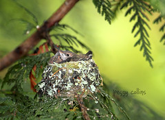 Baby Hummingbirds in the Nest (Peggy Collins) Tags: family canada green togetherness britishcolumbia siblings together pacificnorthwest lichen hummingbirds birdnest sunshinecoast beaks babybirds rufoushummingbird babyhummingbird birdfamily hummingbirdnest peggycollins hummingbirdpictures hummingbirdphotos birdsiblings