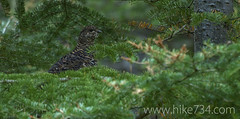 "Spruce Grouse • <a style=""font-size:0.8em;"" href=""http://www.flickr.com/photos/63501323@N07/7454759102/"" target=""_blank"">View on Flickr</a>"