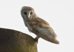 BARN OWL WATCHING ME. (jdoakey) Tags: uk greatbritain chimney england sky brown colour detail bird eye beautiful up animal closeup barn wings pretty colours breast close eyelashes britain dusk gorgeous sony great norfolk wing beak feathers feather raptor owl stunning norwich british marsh resting lovely alpha dslr favourite incredible fen soe animalplanet bearded oakley barnowl birdofprey strumpshaw a55 thewildlife strumpshawfen flickraward avianexcellence dslt sal70400g sony70400 flickraward5 flickrawardgallery sonya55 theinspirationgroup