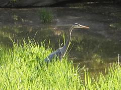 Blue heron along the towpath (Cuyahoga jco) Tags: nature birds parks rivers cuyahogavalleynationalpark cuyahogariver blueherons