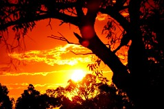 Sunset Colours (missgeok) Tags: lighting trees sunset red sky sun black nature beautiful yellow backlight composition golden warm mood colours angle artistic pov perspective sydney australian silhouettes lensflare framing fiery fireinthesky sunflare gumtrees sunglow treesilhouettes sunsetcolours australiansunset gloriousview exposionofcolours
