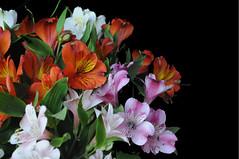 (Airton Morassi) Tags: flores flower nature fleur garden natureza flor jardim bouquet decorao astromelia