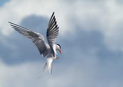 Comm-tern_0829 (Peter Warne-Epping Forest) Tags: specanimal