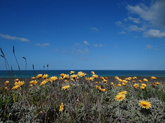 Beach flowers (Home Land & Sea) Tags: flowers newzealand beach yellow spring nz bayview sonycybershot hawkesbay explored arctotis homelandsea dschx100v