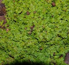 Riccia sp Liverwort Airlie Beach P1130951 (Steve & Alison1) Tags: riccia arfp qrfp ricciaceae arfliverwort tropicalarf ricciasp