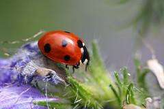 7 spot Ladybird (Ron and Co.) Tags: bird lady 7 spot seven