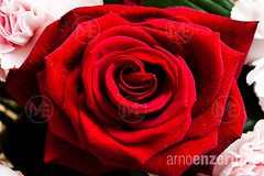 Close up of a red rose (Arno Enzerink) Tags: red plant flower love horizontal loving landscape leaf petals pattern friendship rosa valentine structure petal relationship bloom flowering plantae leafs blooming rosales rosaceae angiosperms eudicots rosoideae rosids