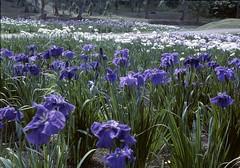 Iris park (threepinner) Tags: park iris summer mamiya japan hokkaido north 100mm 北海道 日本 universal press hokkaidou iwamizawa northernjapan sekor 岩見沢 北日本 アヤメ公園 ayamekouen