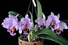 Cattleya percivaliana (Rchb.f.) O'Brien (Cassano, A.) Tags: orchid flower nature natureza flor cattleya orquidea percivaliana d5000