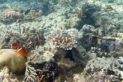dusky anemonefish Amphiprion melanopus and bulb tentacle sea anemone Entacmaea quadricolor