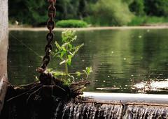 Thrive! (Michael Koole - Vision Three Images) Tags: water weed nikon dam michigan nikkor rockford d300 kentcounty 24120mmf3556d michaelkoole
