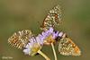 Melithea phoebe (tris) (alfvet) Tags: macro nature nikon natura insetti farfalle parcodelticino veterinarifotografi