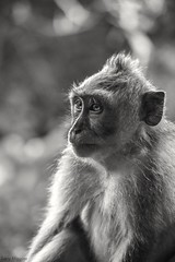 Bali 2 (bananacake1000) Tags: bali indonesia macaque monkey blackandwhite portrait nikon travel