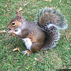 (lesleydoubleday) Tags: coventry animal squirrel