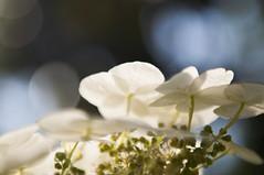 ... Come le nuvole nel cielo (paolo bonfanti) Tags: fiori bianchi verde nuvole