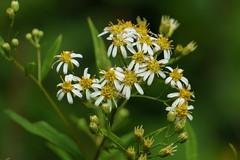 Unknown Wild Flower (claudeallaert) Tags: bokeh hiking nepean oldquarrytrail ontario ottawa sony sonya6000 sonye55210mm wildfowers