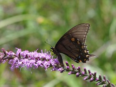 Swallowtail (bamboosage) Tags: takumar 200 35 preset m42