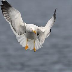 Larus fuscus (kaius.artimo) Tags: larusfuscus lesser blackbacked gull lbg selklokki suontee