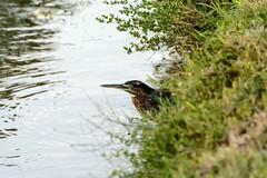 Finding Cover (brev99) Tags: d7100 tamron70300vc topazdenoise greenheron pond park crescentpark ngc highqualityanimals bird