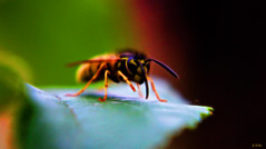 waspart (gshaun12) Tags: wasp nature fantasticnature macro macrodreams upclose bokeh animals art insects wildlife