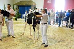 Interior Provincial Exhibitition - IPE (james.watt44) Tags: armstrongbc dairycows dairycattle 4h shuswapdairy4h ipe interiorprovincialexhibition interiorprovincialexhbitionrodeo calves calf cows cow dairy