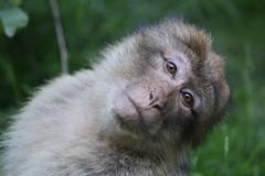 Barbary Macaque, Trentham Monkey Forest, Staffordshire (normanbydave) Tags: monkey monkeyforest trentham barbarymacaque wildlife animal