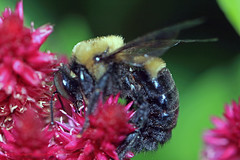 Bumble Bee (rumerbob) Tags: bee beeonflower bumblebee macro macrobug macrobumblebee macroinsect macrophotography canon7dmarkii canon100mmmacrolens