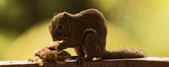 Mango Seed For Lunch (blueyshutta) Tags: malaysia bsp squirrel kijalawana nikon nikond750