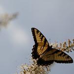 butterfly, oneplant, ouryard, jdy197 XX201607158891.jpg thumbnail