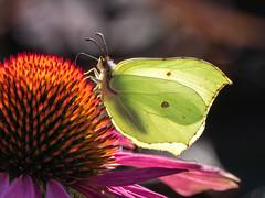 Backlit Brimstone (Maria-H) Tags: newbyhall england unitedkingdom gb brimstone butterfly gonepteryxrhamni garden flower yorkshire uk panasonic gh4 dmcgh4 100400 echinacea