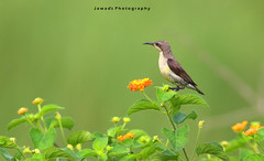 Purple Sunbird Female (jadi_jal) Tags: nature naturelover naturephotography natural light bokeh colors flowers pur sunbird flicker sialkot pakistan