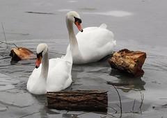 Swans (PhotoLoonie) Tags: swan muteswan animal wildlife britishwildlife