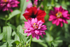 Clark Botanic Garden (Alyson Goodman) Tags: longisland clarkbotanicgarden flower flowers floral plant plants newyork nature zinnia