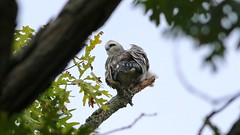 mississippi kite (juvenile) (quadceratops) Tags: new hampshire nature newmarket mississippi kite