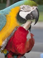 Play (gpa.1001) Tags: maui hawaii lahaina parrots