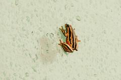 Sapinho (MickPt) Tags: animais lumix tz10 animals repteis reptiles mocambique maputo mozambique